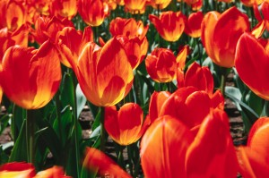 Close-up View of Orange Tulips