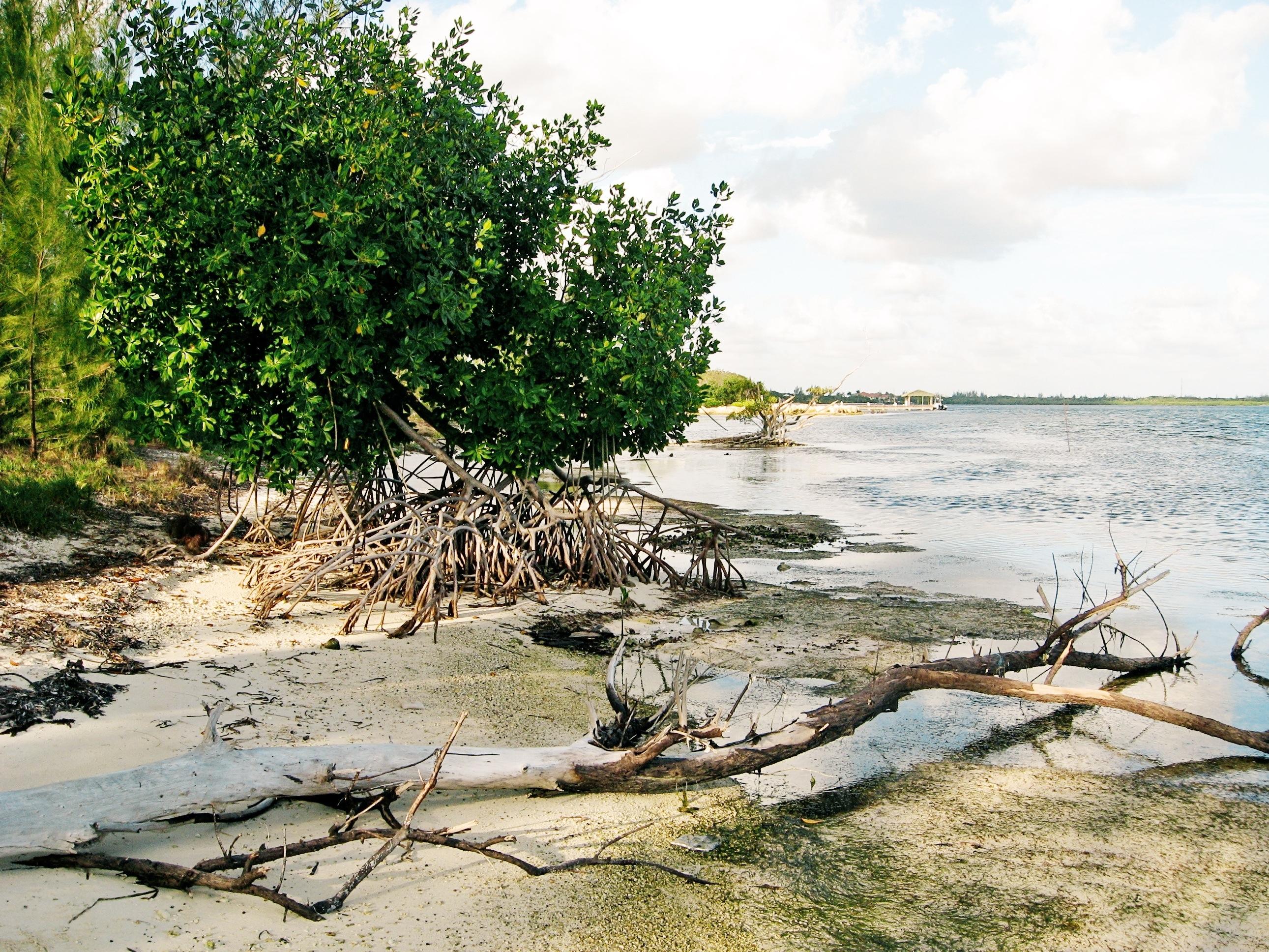 where the mangroves grow u2026