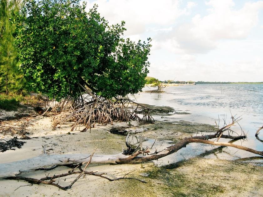 mangrove cover