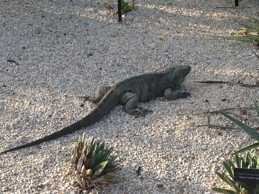 Blue Iguana1