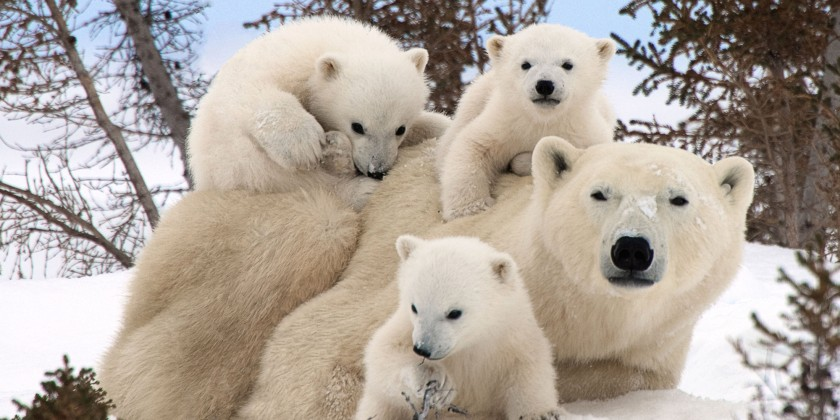 Polar Bear Family Portraits