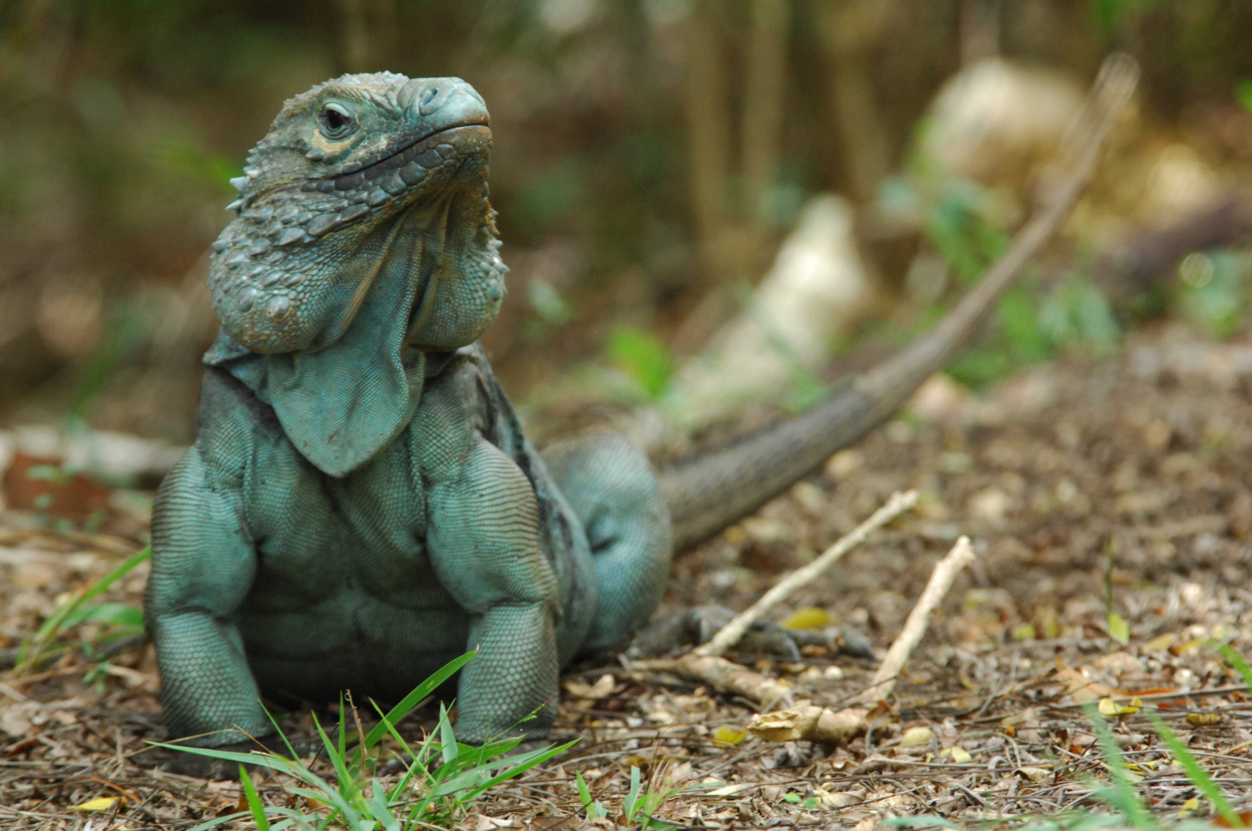 The Revival Of Blue Iguanas