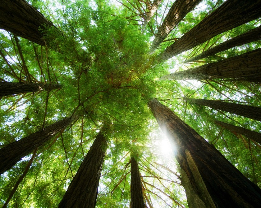 ring_of_redwoods_wallpaper_plants_nature_wallpaper_1280_1024_1222