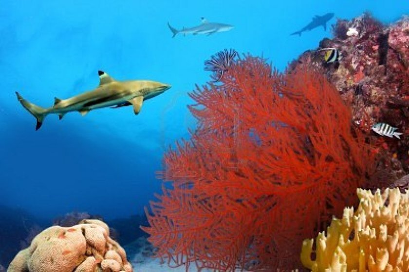 9488762-whitetip-sharks-over-coral-reef