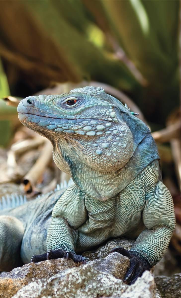 blue iguana cayman islands