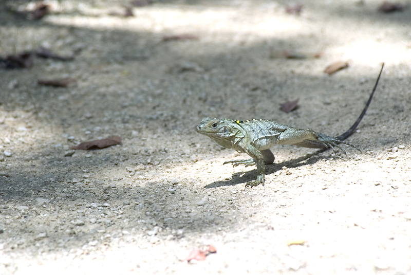 How To Help Protect Blue Iguanas Photo Credit Fred Burton