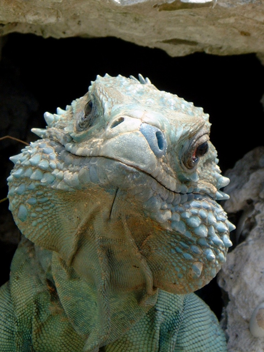 blue iguanas  a national treasure