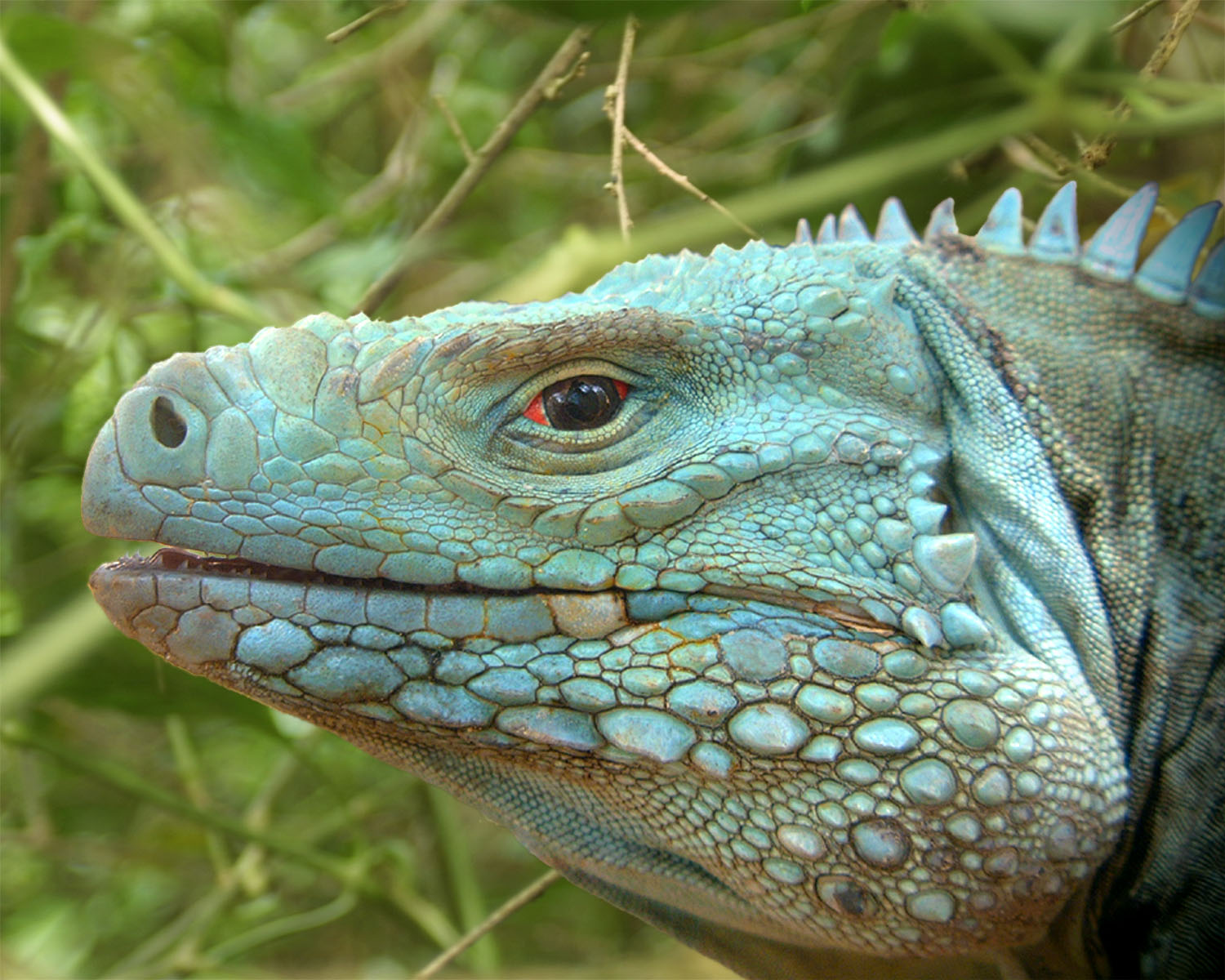 Finally The Colliers Wilderness Reserve Another Sanctuary For Blues Has A Healthy Population Of Blue Iguanas Photo Credit Fred Burton